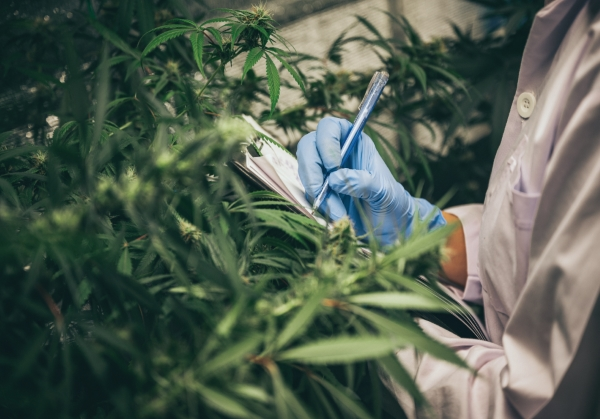 A worker inspects cannabis plants in a grow operation