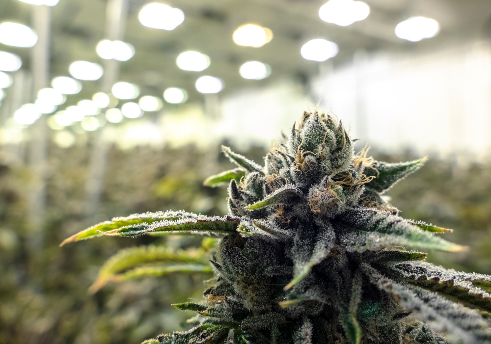 cannabis-case-study-3
